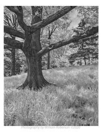 Oak, Daffodil Hill, Brooklyn Botanic Garden