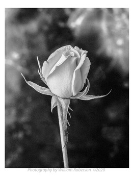 Rose #2