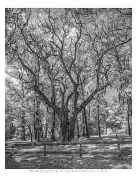 Oak, Spanish Moss
