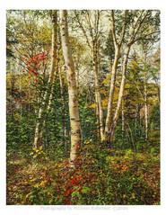 Birches, Autumn