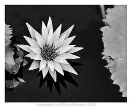 Water Lily, Brooklyn Botanic Garden #3