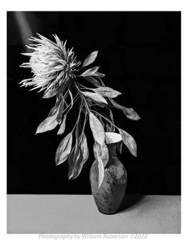 Proteaceae #2