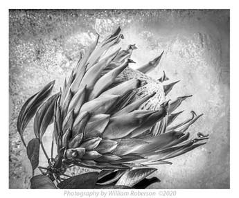 Proteaceae #3