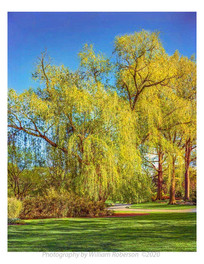 Weeping Willow, BBG