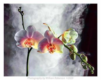 Orchid, Smoke #2