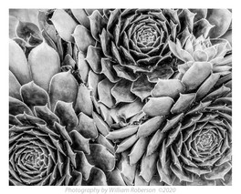 Succulents #3