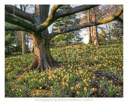 Daffodil Hill BBG