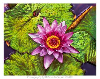 Water Lily BBG #4