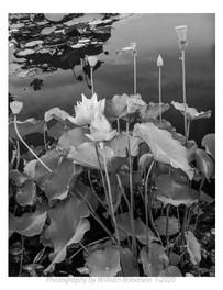 Sacred Lotus, Brooklyn Botanic Garden #3