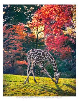 Giraffe, Bronx Zoo #2