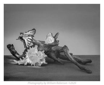 Still Life, Moths, Driftwood, Seashell