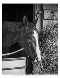 Horse, Saratoga #2