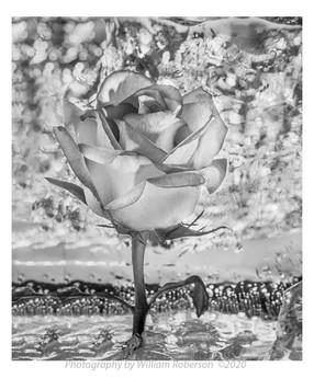 Rose in Ice #2
