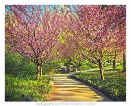Cherry Trees BBG #3