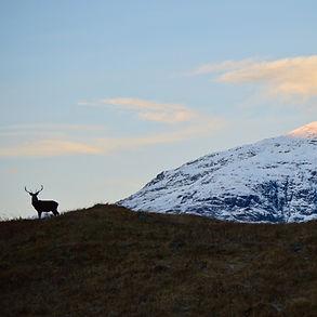 Scottish%20Stag_edited.jpg
