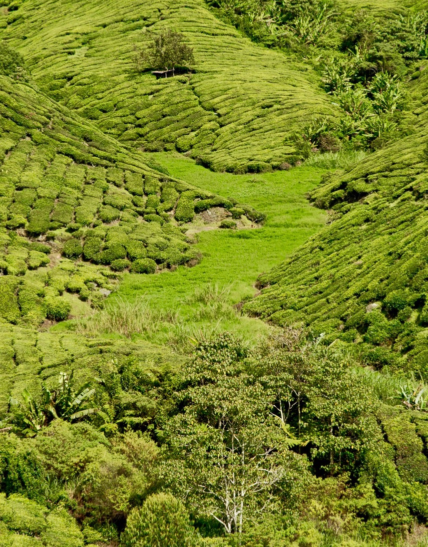 tea plantation hillside, Malaysia