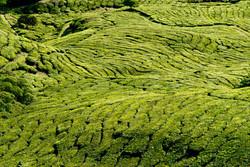 carpet of tea, Malaysia