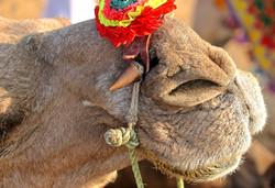 camel nose, Pushkar