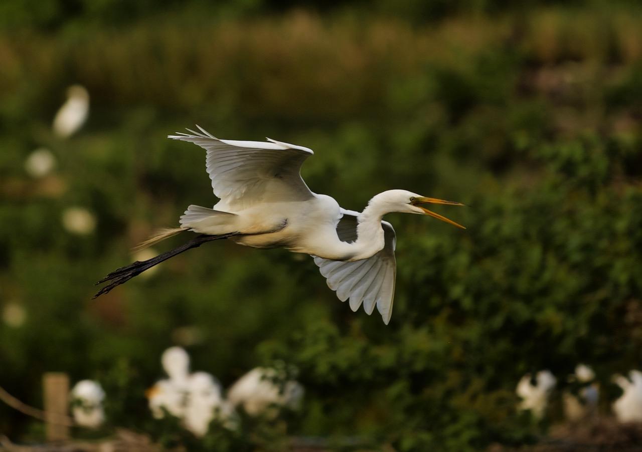 egret in flight, High Island
