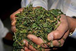 dried tea leaves, Darjeeling