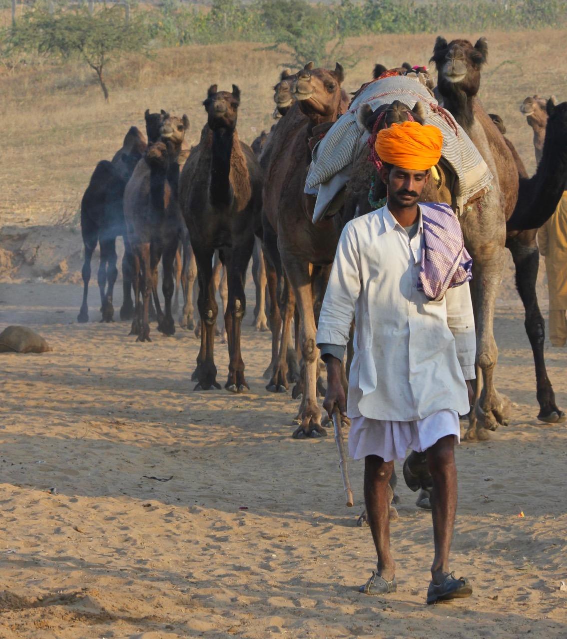 camel herder arriving, Pushkar