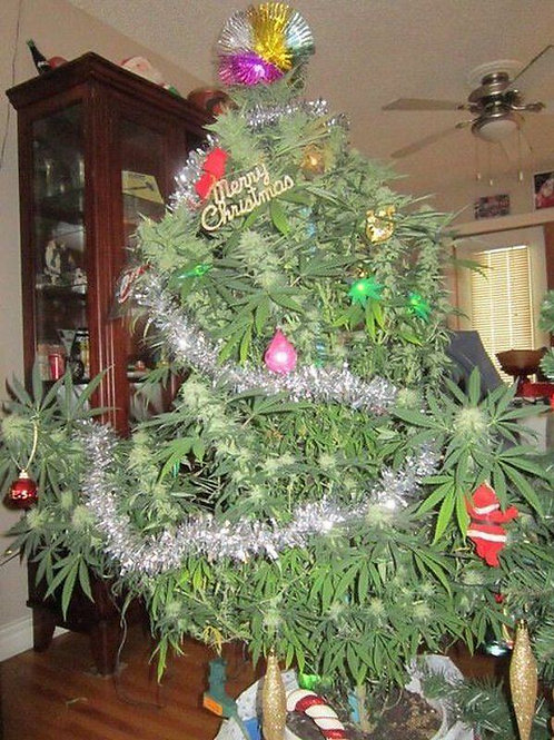 Christmas Bush - Regular