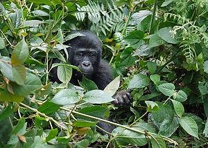 gorilla-1386501__340.jpg