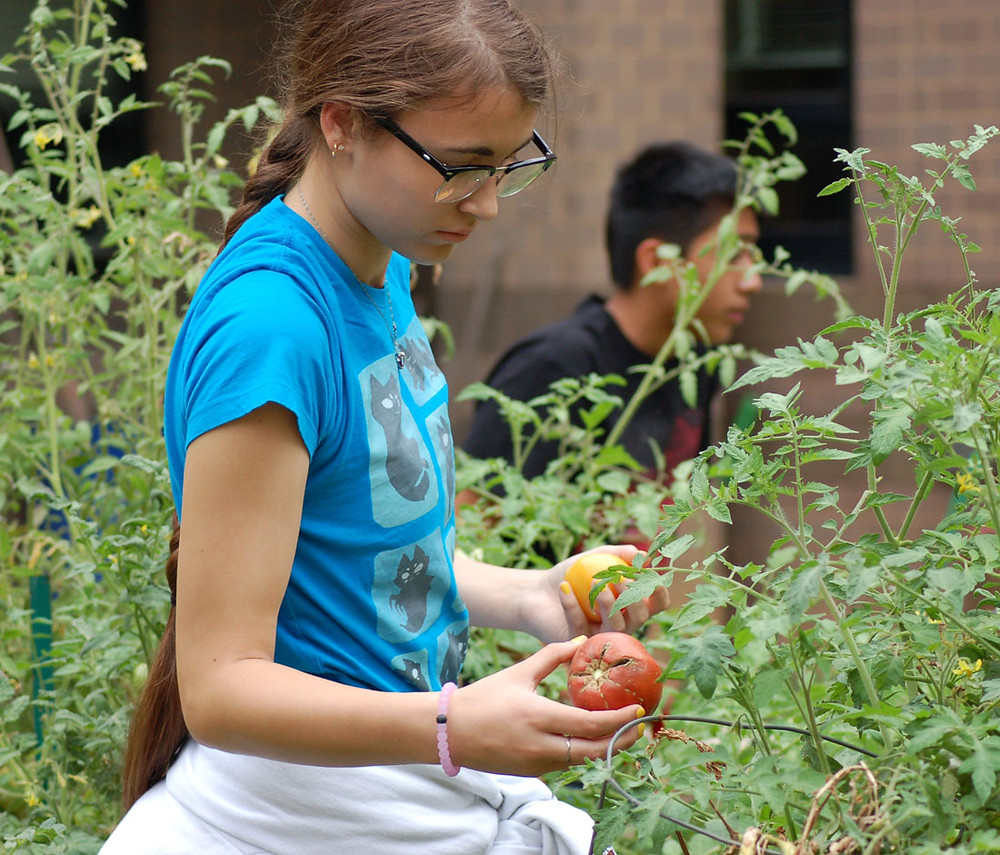Rebecca picking some tomatoes