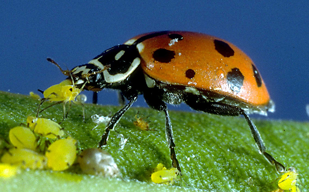 This is a ladybug eating aphids, a popular form of pest management