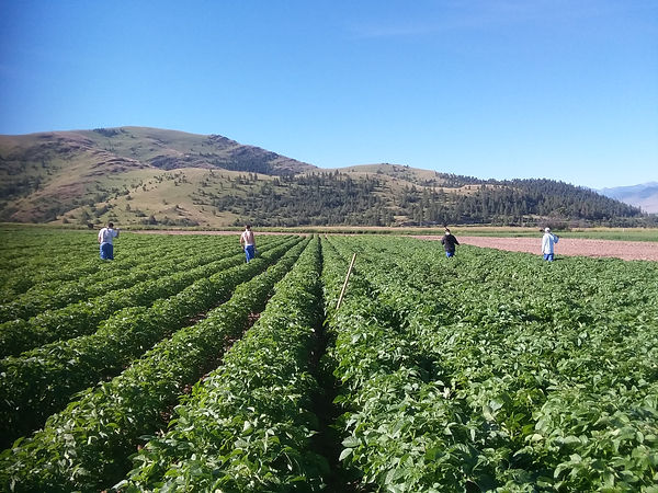 Roguer roguing a field for potato virus Y (PVY) and varietal mix