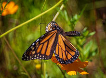 Butterflies-8-9-MonarchAfterLunch-434c.j