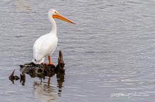 Pelicans-012c.jpg