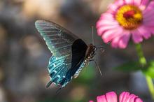 Butterflies-7-26-EarlyMorning-161c.jpg