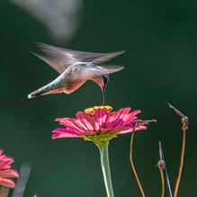 Hummers-8-14-Morning-FrontFlowers-186c.j