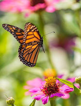 MonarchinFlight2-118.jpg