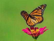MonarchinFlight-236.jpg