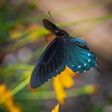 Butterflies-7-28-AfterLunch-11c.jpg