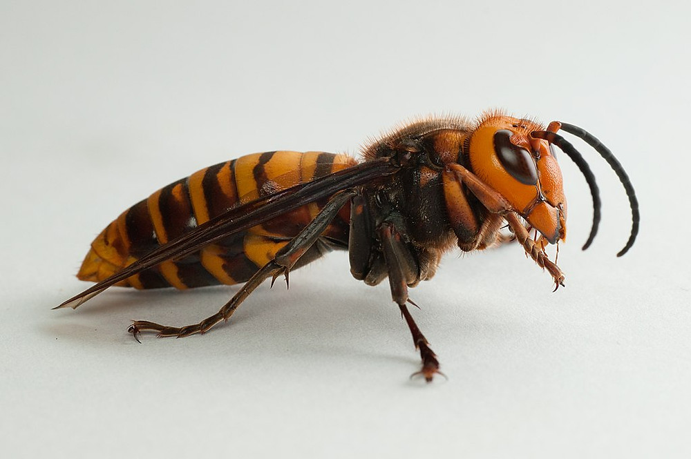 Large asian hornet, side view.