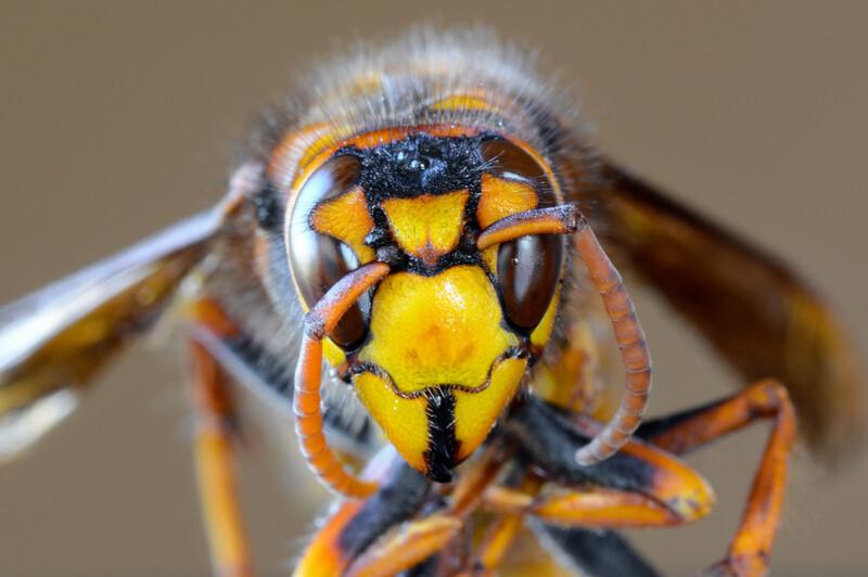 Head-on shot of an Asian giant hornet.