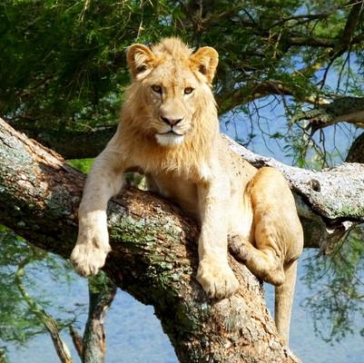 Young Lion in Ngorongoro