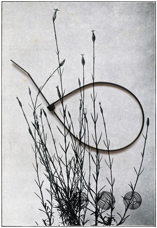 Batia Suter - 'Carnation'