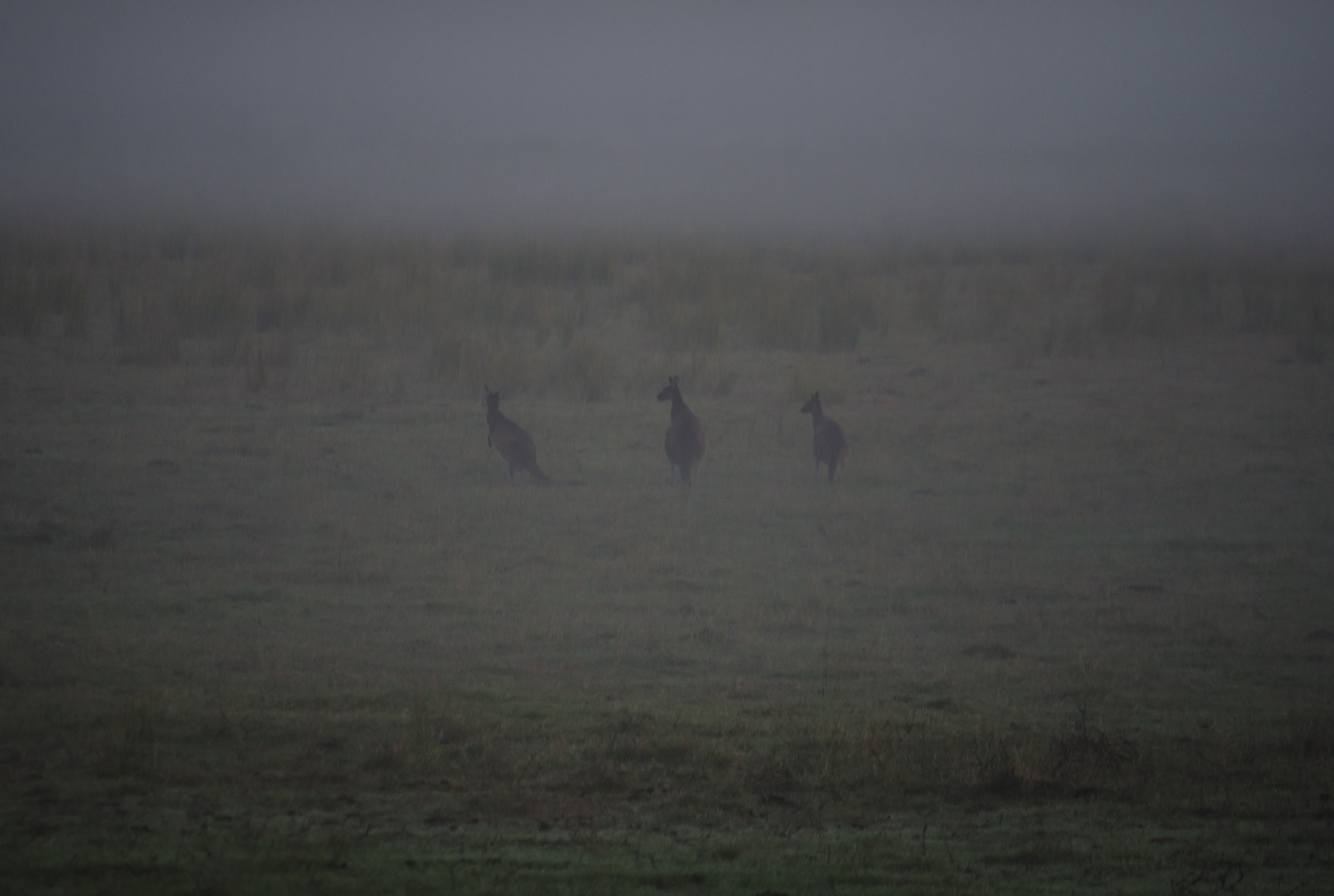 Roos at Dawn