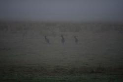 Roos at Dawn