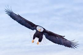 bill menzel - eagles 04.jpg