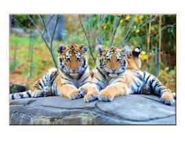 bill menzel - tiger 02.jpg