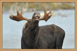 bill menzel - moose 04.jpg