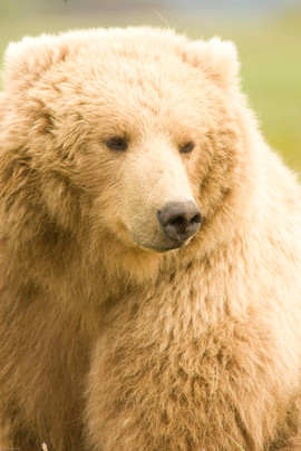 bill menzel - bears 06.jpg