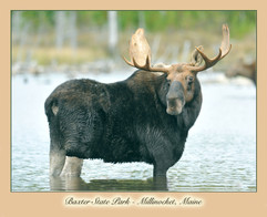 bill menzel - moose 05.jpg