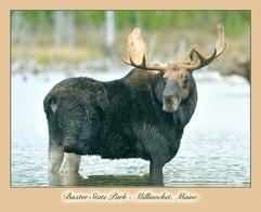 bill menzel - moose 05.jpg