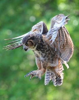 bill menzel - owl 01.jpg